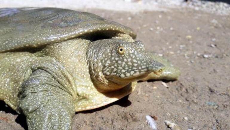 Adıyaman'da nesli tükenme tehlikesi altında olan Fırat kaplumbağası bulundu