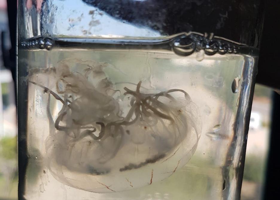 Antalya'da yeni deniz anası türü bulundu