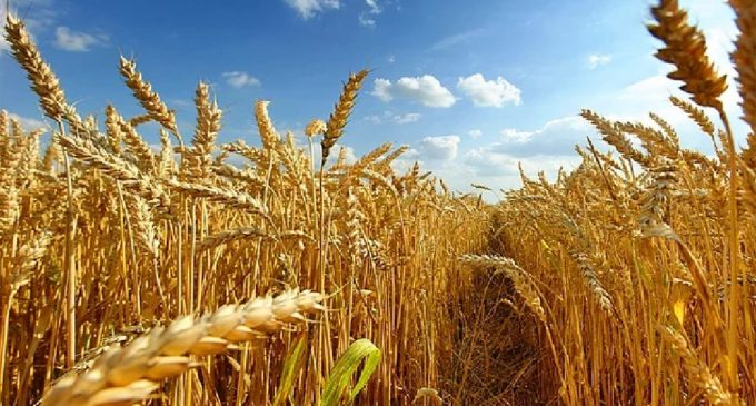 Buğdayı Yunanistan'dan aldık: İthalatı 6 kat arttı!