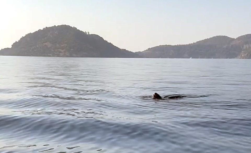 Deri sırtlı deniz kaplumbağası görüntülendi