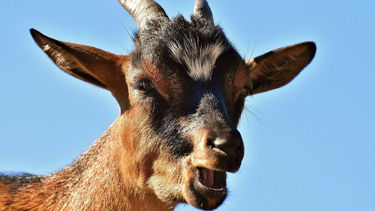 Hindistan'da bir keçi, maske takmadığı gerekçesiyle tutuklandı