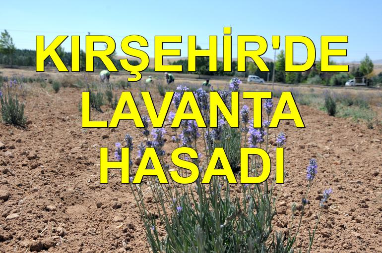 Kırşehir Belediyesi'nin ilk lavanta hasadı gerçekleşti
