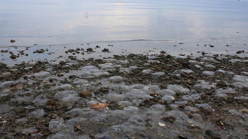Kocaeli'nde binlerce ölü denizanası kıyıya vurdu