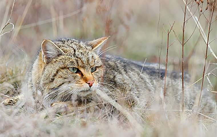 Oğuzlara ait evcil kedi bulundu