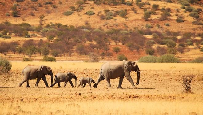 Orta Afrika'daki fil nüfusu 30 yılda yüzde 86 azaldı