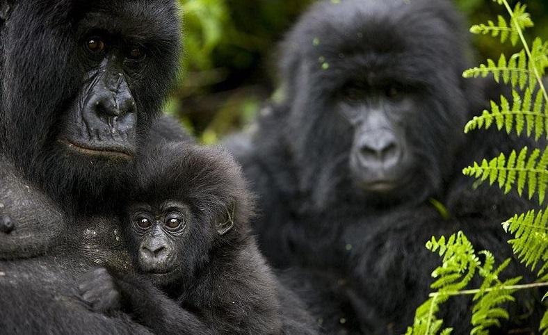 Soyu tükenmekte olan ünlü dağ gorili kaçak avcılarca öldürüldü