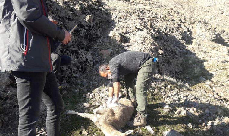 Tunceli'de 8 yaban keçisi ölü bulundu